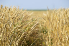 Mature wheat on the field. Spikelets of wheat. Harvest of grain. Royalty Free Stock Photos