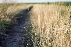 Mature wheat on the field. Spikelets of wheat. Harvest of grain. The path between the spikelets of wheat. Stock Photos