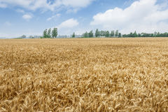The mature wheat fields in the harvest season Royalty Free Stock Images