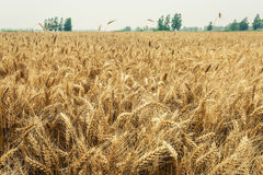 The mature wheat fields in the harvest season Stock Images