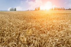 The mature wheat fields in the harvest season Stock Photo
