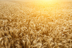 The mature wheat fields in the harvest season Stock Photography