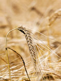 Mature wheat Stock Photography