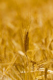 Mature wheat Stock Photos