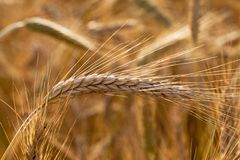 Mature wheat. The photo of an ear of the mature wheat, made a close up Stock Images