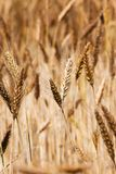 Mature wheat. The photo of an ear of the mature wheat, made a close up Stock Image