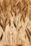 Mature wheat Stock Image