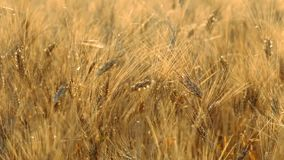 Mature wheat swaying in the wind stock video footage