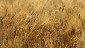 Mature wheat swaying in the wind stock video