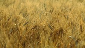 Mature wheat swaying in the wind stock footage