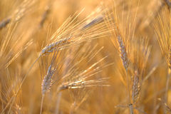 Mature wheat swaying in the wind Stock Photos
