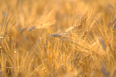Mature wheat swaying in the wind Royalty Free Stock Photography