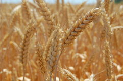 Mature wheats' ears Royalty Free Stock Image