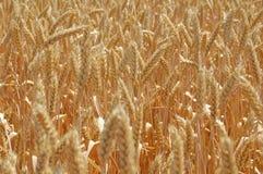Mature wheats' ears Stock Photos