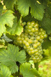 Mature white grapes Royalty Free Stock Photos
