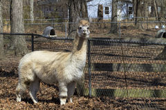 Mature White Peruvian Alpaca - Vicugna pacos Royalty Free Stock Photos