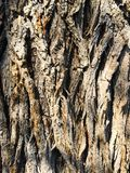 Mature Willow Bark Stock Image