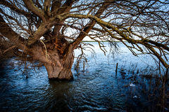 Mature willow surrounded by flood water Stock Images