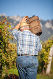 Mature winegrower harvesting black grapes. In his vineyard Stock Photography
