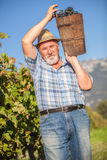 Mature winegrower harvesting black grapes. In his vineyard Royalty Free Stock Image