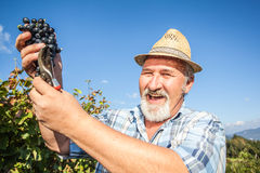 Mature winegrower harvesting black grapes Royalty Free Stock Image