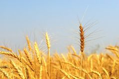 Mature Winter Wheat. Mature wheat crop nearing harvest. This variety is Winter Wheat, and is planted before snowfall in the preceding season Stock Photography