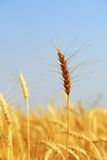 Mature Winter Wheat. Mature wheat crop nearing harvest. This variety is Winter Wheat, and is planted before snowfall in the preceding season Stock Images