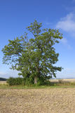 Mature wolds ash tree. A mature ash tree in an agricultural landscape in the yorkshire wolds england under a blue sky in late summer Royalty Free Stock Photography