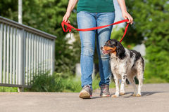 Mature woman with Brittany dog at the leash. Mature woman walking with Brittany dog at the leash on the street Royalty Free Stock Photography