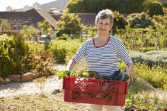 Mature Woman Carrying Crate Of Produce On Community Allotment Royalty Free Stock Photo