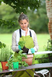 Mature woman changing flowers pots in garden Royalty Free Stock Image