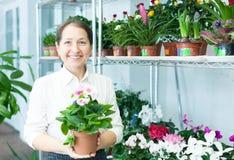 Mature woman chooses auricula (Primula) Stock Images