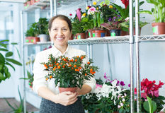Mature woman chooses Calamondin at  store Stock Photo