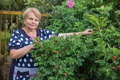 Mature woman collects dog-rose Royalty Free Stock Image