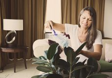 Woman is cleaning houseplant. Mature woman is dusting rubber tree in her apartment royalty free stock image