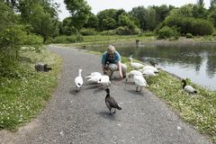 Mature woman feeding ducks near a pond royalty free stock photos
