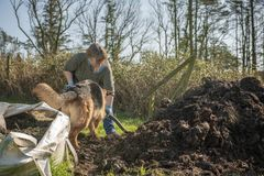 Mature woman gardening with pet Alsatian. In spring stock photography