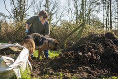 Mature woman gardening with pet Alsatian. In spring stock images