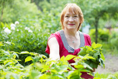 Mature woman gathers raspberry leaves Stock Images