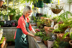 Mature woman holding potted plant at greenhouse Royalty Free Stock Images