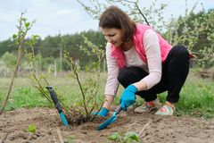Free Mature Woman In Gloves Working The Soil Under Rose Bush With Garden Tools, Spring Gardening Royalty Free Stock Photography - 146376667