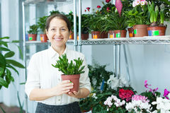 Mature woman looks Crassula plant Royalty Free Stock Image