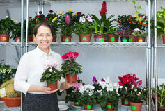 Mature woman looks Cyclamen  at flower store Royalty Free Stock Images