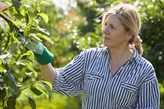 Mature woman looks after trees in her orchard. Mature woman check small pears in her orchard Royalty Free Stock Image