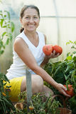 Mature woman picking  tomatoes Stock Image