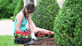 Mature woman planting red flowers. At home with bushes out of focus stock video footage