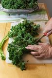 Mature woman`s hands cutting the tough spines from the center of. Kale leaves, vertical aspect. Cutting the tough ribs from the leaves of kale make it more Royalty Free Stock Image