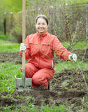 Mature woman with spade and sprouts. Mature woman making orchard with spade and sprouts  in spring garden Stock Image