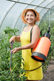 Mature woman spraying tomato plant Royalty Free Stock Photo