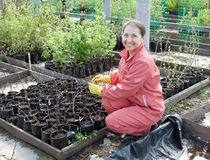 Mature woman with sprouts. In pots  at plant Royalty Free Stock Photography